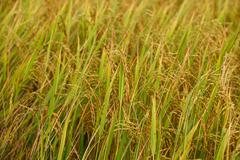 Stock Photo of Rice field background