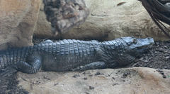 Crocodile sleeping Stock Footage