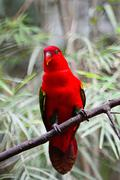 chattering lory - stock photo