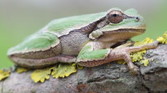 common green toad in natural habitat - stock footage