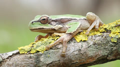 Common green toad in natural habitat Stock Footage