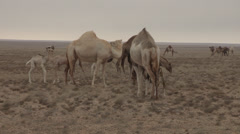 Western Sahara Camel Herd 2 Stock Footage