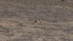 Western Sahara Desert Foxes Stock Footage