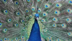 Peacock. Peafowl. Stock Footage