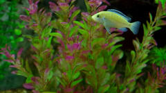 Ornamental fish swimming in an aquarium. Stock Footage