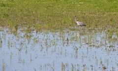 Great Grey Heron (Ardea cinerea) Stock Photos
