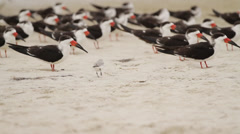 Baby seagull with Black Skimmers Stock Footage