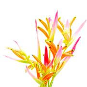 heliconia sassy - stock photo