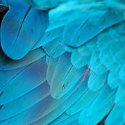blue and gold macaw feathers - stock photo