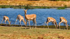 impala herd - stock photo