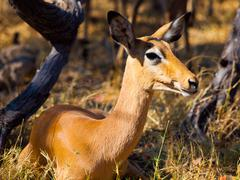 young female impala - stock photo