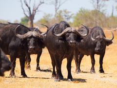 Buffalos alert Stock Photos