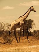 giraffe in savanna - stock photo