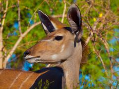 Female kudu antelope Stock Photos