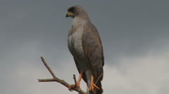 Chanting goshawk Stock Footage