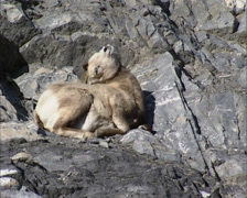 Bighorn sheep ( Ovis canadensis ) lying on rocky slope + standing up Stock Footage