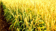 Wheat barley grain golden windy agricultural field Stock Footage