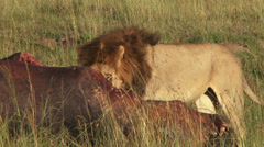 Close up of a kill of a lion Stock Footage
