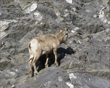 Bighorn sheep ( Ovis canadensis ) walking on rocky slope + zoom out - stock footage