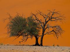 acacia tree in front of dune 45 in namid desert - stock photo