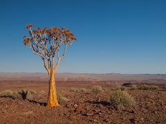 aloe tree (quiver) in fish river canyon national park - stock photo