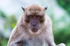 Portrait of monkey - macaca fascicularis Stock Photos