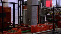 Mangoes fruit line industrial Stock Footage