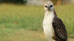 The tamed falcons for hunting Stock Footage