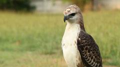 Hawk on a green meadow in green meadow Stock Footage