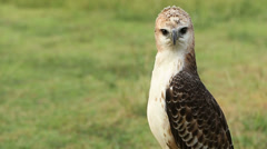 Hawk on a green meadow in forest Stock Footage