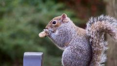 A grey squirrel eating nuts in a rural British park in Spring. Full HD 1080p Stock Footage
