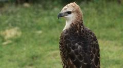 Birds Predator - Peregrine Falcon (Falco peregrinus) Stock Footage
