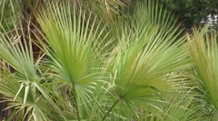 Palms leaves gently sway in the breeze Stock Footage
