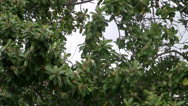 Stock Video Footage of oak tree pollen laden branches sway in wind on cloudy windy day outdoors