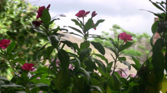 Pink flower sway in the breeze on cloudy windy day outdoors Stock Footage