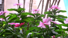 Pink flower sway in breeze on a windy day outside overlooking a pool Stock Footage