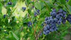 Blueberries on on the bush - stock footage
