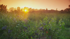 Sunset over blueberry field - stock footage