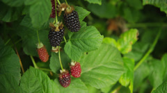 Blackberries on the vine Stock Footage