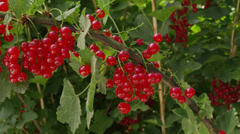 Red currant on the bush Stock Footage