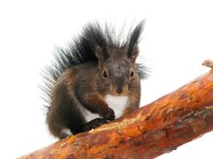 squirrel on a tree, isolated - stock photo