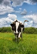 Stock Photo of cows eat grass on the field