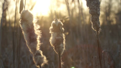 Stock Video Footage of Ukraine,  reeds