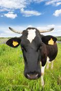 black and white cow in the meadow - stock photo