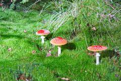 three mushroom in moss - stock photo