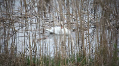 Swan building a nest Stock Footage