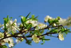 cherry tree flowers - stock photo