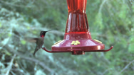 Stock Video Footage of Anna's Hummingbird - Male - Part 1