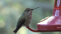 Anna's Hummingbird - female - part 2 Stock Footage