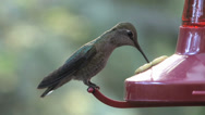 Stock Video Footage of Anna's Hummingbird - female - part 1